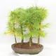 Bonsai im Freien - Pseudolarix amabilis - Pamodřín - Hain mit 5 Bäumen - 2/5