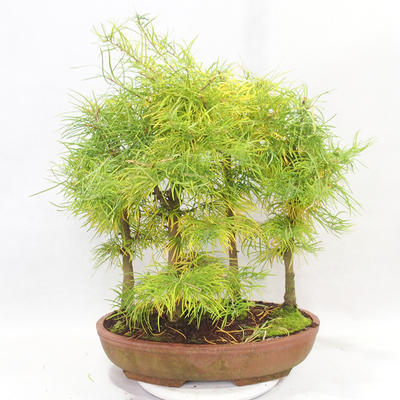 Bonsai im Freien - Pseudolarix amabilis - Pamodřín - Hain mit 5 Bäumen - 2