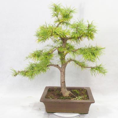 Bonsai im Freien - Pseudolarix amabilis - Pamodřín - 2