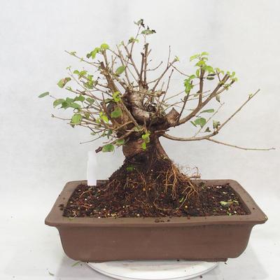 Outdoor Bonsai -Mahalebka - Prunus Mahaleb - 2