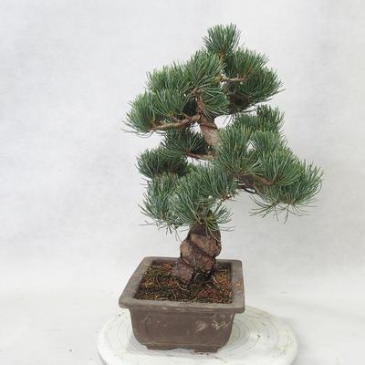 Bonsai im Freien - Pinus parviflora - kleinblumige Kiefer - 2