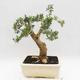 Indoor Bonsai - Buxus harlandii - Kork Buchsbaum - 2/7