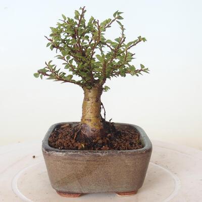 Outdoor-Bonsai - Ulmus parvifolia SAIGEN - Kleinblättrige Ulme - 2