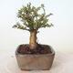 Outdoor-Bonsai - Ulmus parvifolia SAIGEN - Kleinblättrige Ulme - 2/4