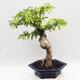 Indoor Bonsai -Phyllanthus Niruri- Smuteň - 2/6