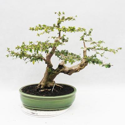 Indoor-Bonsai - Cudrania equisetifolia - 2