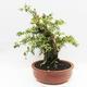 Indoor-Bonsai - Cudrania equisetifolia - 2/5