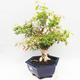 Indoor Bonsai - Australische Kirsche - Eugenia uniflora - 2/5