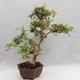 Zimmer Bonsai - Australische Kirsche - Eugenia uniflora - 2/5