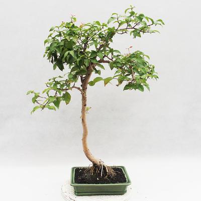 Zimmer Bonsai - Australische Kirsche - Eugenia uniflora - 2