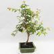 Zimmer Bonsai - Australische Kirsche - Eugenia uniflora - 2/4