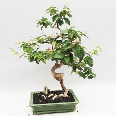 Indoor Bonsai - Australische Kirsche - Eugenia uniflora - 2
