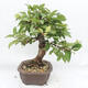 Outdoor-Bonsai -Malus Halliana - fruited Apfel - 2/6