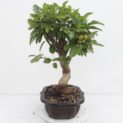 Outdoor-Bonsai -Malus Halliana - fruited Apfel - 2