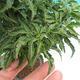 Outdoor-Bonsai - Acer palmatum SHISHIGASHIRA - Kleiner Ahorn - 2/3