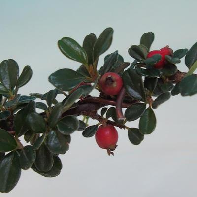 Outdoor-Bonsai-Cotoneaster horizontalis-Cotoneaster - 2