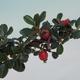 Outdoor-Bonsai-Cotoneaster horizontalis-Cotoneaster - 2/2