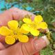 Outdoor Bonsai-Cinquefoil - Potentilla fruticosa Goldfinger - 2/2