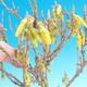 Outdoor Bonsai - Zlatice - Forsythia intermedia Wochenende - 2/2