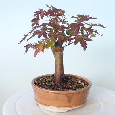 Outdoor-Bonsai - Ahorn palmatum sangokaku - Ahornpalmenblatt - 2