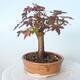 Outdoor-Bonsai - Ahorn palmatum sangokaku - Ahornpalmenblatt - 2/5