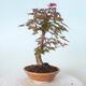 Outdoor-Bonsai - Ahorn palmatum DESHOJO - Ahorn palmate - 2/6