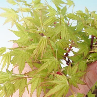 Outdoor Bonsai - Acer Kumpel. Sango Kaku - Palmahorn - 2