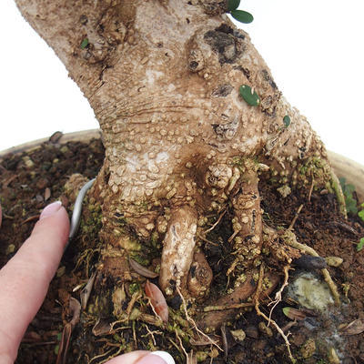 Indoor-Bonsai - Olea europaea sylvestris - Europäisches kleinblättriges Olivenöl - 2