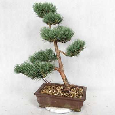 Außenbonsai - Pinus sylvestris Watereri - Waldkiefer VB2019-26852 - 2