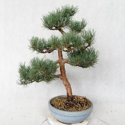 Außenbonsai - Pinus sylvestris Watereri - Waldkiefer VB2019-26859 - 2
