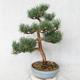 Außenbonsai - Pinus sylvestris Watereri - Waldkiefer VB2019-26859 - 2/4