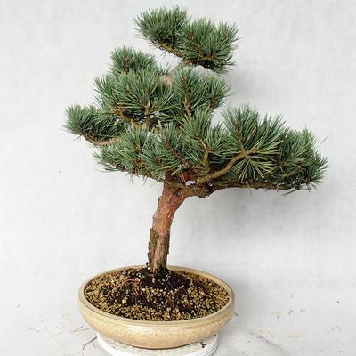 Außenbonsai - Pinus sylvestris Watereri - Waldkiefer VB2019-26868 - 2