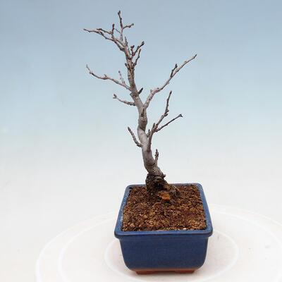 Außenbonsai - Pinus sylvestris Watereri - Waldkiefer VB2019-26870 - 2