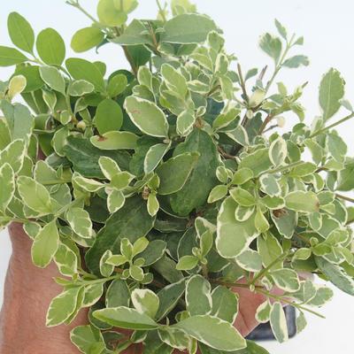Zimmerbonsai -Ligustrum chinensis - Liguster - 2