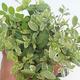Zimmerbonsai -Ligustrum chinensis - Liguster - 2/4