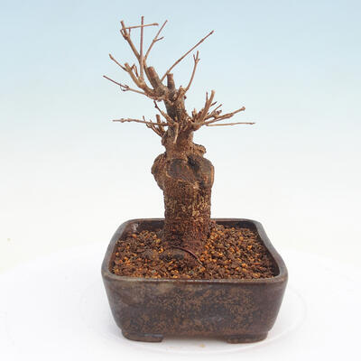 Bonsai im Freien - Buergerianum Maple - Burger Maple - 2