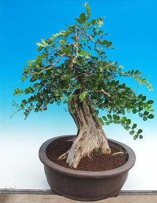 Zimmerbonsai - Muraya paniculata - 2