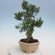Indoor Bonsai - Buxus harlandii - Kork Buchsbaum - 2/6