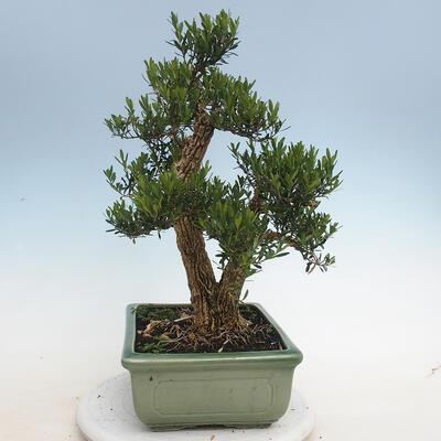 Indoor Bonsai - Buxus harlandii - Kork Buchsbaum - 2