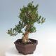Innenbonsai - Buxus harlandii - Korkbuchsbaum - 2/5