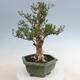 Innenbonsai - Buxus harlandii - Korkbuchsbaum - 2/7