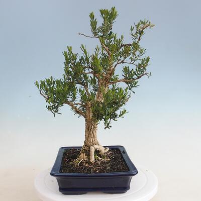 Innenbonsai - Buxus harlandii - Korkbuchsbaum - 2