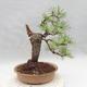 Bonsai im Freien - Pinus sylvestris - Waldkiefer - 2/4