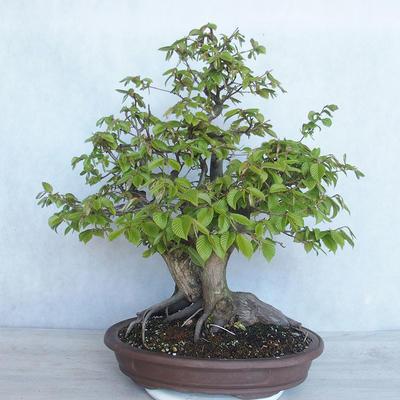 Bonsai im Freien Carpinus betulus- Hainbuche VB2020-485 - 2