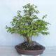 Bonsai im Freien Carpinus betulus- Hainbuche VB2020-485 - 2/5
