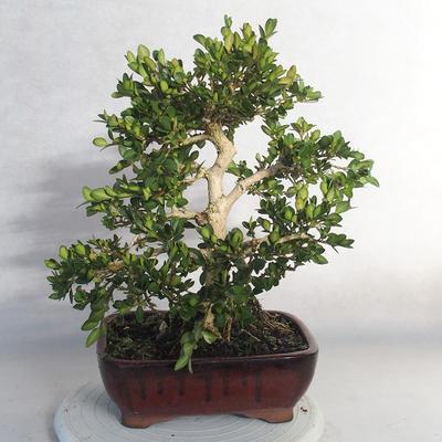 Bonsai im Freien - Buchsbaum - 2