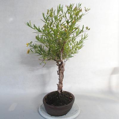 Bonsai im Freien - Johanniskraut - Hypericum - 2