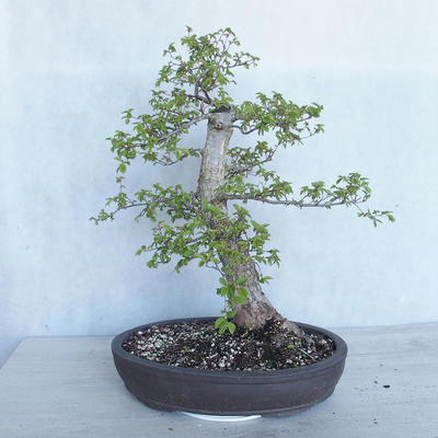 Outdoor Bonsai -Ulmus GLABRA Elm VB2020-495 - 2