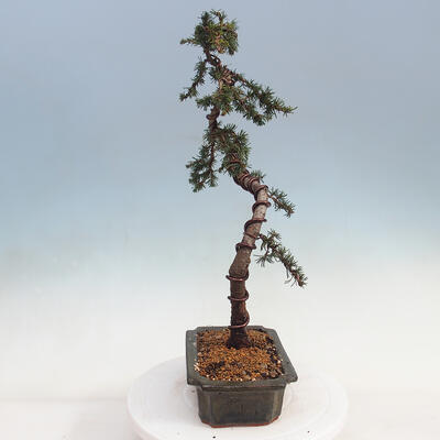 Outdoor Bonsai -Mahalebka - Prunus Mahaleb - 2