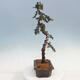 Outdoor Bonsai -Mahalebka - Prunus Mahaleb - 2/5
